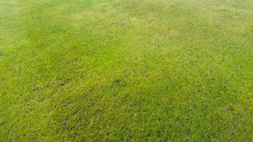 creepingbentgrass